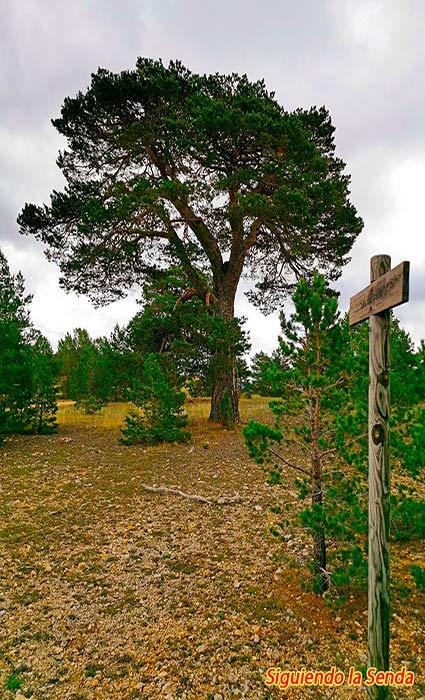 Dos pinos en la ruta de los canos de gudar
